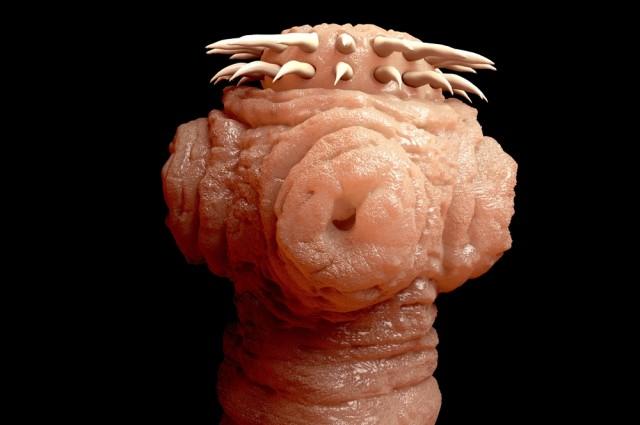 Vista en el microscopio de la cabeza de una tenia.