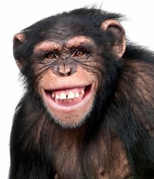 los-simios-tambien-tienen-crisis-de-la-madurez-300x350
